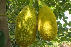 The jackfruit. Jack tree, is a species of tree in the fig, mulberry, and breadfruit family native to South India. They suited to tropical lowlands, and its Royalty Free Stock Image