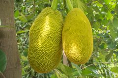 The jackfruit. Jack tree, is a species of tree in the fig, mulberry, and breadfruit family native to South India. They suited to tropical lowlands, and its Stock Photography
