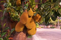 Jackfruit. Topical and very sweet taste with aroma Royalty Free Stock Image