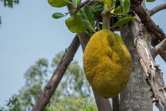 Jackfruit. Royalty Free Stock Image