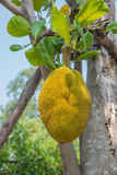 Jackfruit. Royalty Free Stock Images