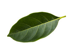 Jackfruit leaf isolated on white Royalty Free Stock Image