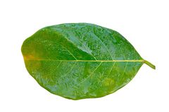 Jackfruit leaf with water drops. Jackfruit leaf with water drops on white background Stock Photos