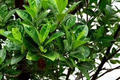 Jackfruit leaves Stock Photo