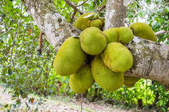 Jackfruit many, plenty, abundant on Jackfruit tree Stock Images