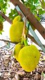 Jackfruit mit Naturhintergrund Stockfoto