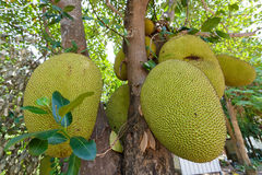 Jackfruit na árvore Fotografia de Stock Royalty Free