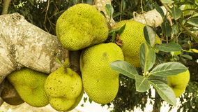 Jackfruit na árvore Imagens de Stock