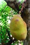 Jackfruit na drzewie Zdjęcie Stock