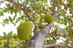 Jackfruit na drzewie Fotografia Stock