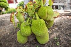 Jackfruit na drzewie, miękka ostrość Zdjęcie Royalty Free