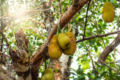 Jackfruit na drzewie z światłem słonecznym doceniał w Azja Zdjęcie Royalty Free