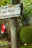 Jackfruit na drzewie, zielona liść plamy tła wybiórki ostrość z płytką głębią pole Obrazy Royalty Free
