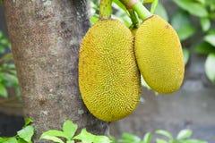 Jackfruit na Jackfruit drzewie Zdjęcie Royalty Free