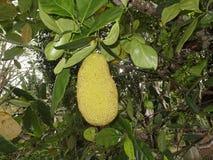 Jackfruit or Nangka Royalty Free Stock Images