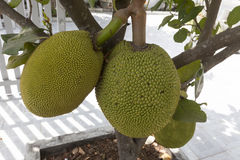 Jackfruit. It is native to parts of South and Southeast Asia. The jackfruit tree is well suited to tropical lowlands, and its fruit is the largest tree-borne Royalty Free Stock Photo