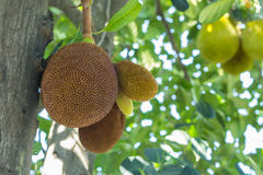 The jackfruit in nature Stock Images