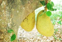 Jackfruit obwieszenie na drzewie zdjęcie stock