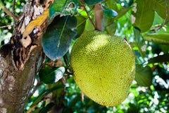 Free Jackfruit On The Tree Stock Photo - 129434260