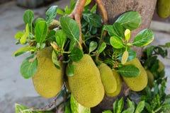Jackfruit op boom stock foto's