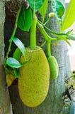 Jackfruit op boom Stock Afbeeldingen