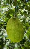 Jackfruit op boom Stock Afbeelding