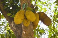 Jackfruit op de bomen in de wildernissen van India stock fotografie