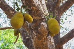 Jackfruit op de bomen in de wildernissen van India royalty-vrije stock afbeelding