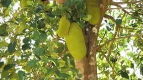 Jackfruit op de boom stock video