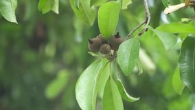 Jackfruit op de boom stock videobeelden