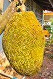 Jackfruit op de boom Stock Afbeelding
