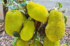 Jackfruit op de boom Royalty-vrije Stock Afbeelding
