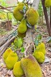 Jackfruit op de boom Royalty-vrije Stock Foto