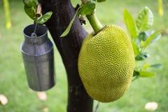 Jackfruit op de boom Stock Foto