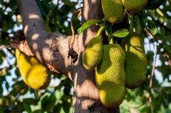 Jackfruit op de boom Royalty-vrije Stock Fotografie