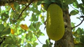 Jackfruit op de boom stock footage