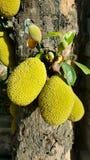 Jackfruit op een Boom in het Tropische omringen royalty-vrije stock afbeelding