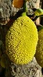 Jackfruit op een Boom in het Tropische omringen royalty-vrije stock fotografie