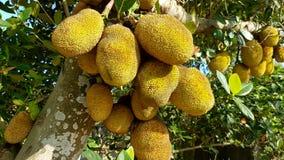 Jackfruit op een Boom in het Tropische omringen stock afbeeldingen