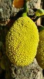 Jackfruit op een Boom in het Tropische omringen stock fotografie