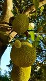 Jackfruit op een Boom in het Tropische omringen stock afbeelding