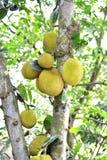 Jackfruit op een hefboomboom Stock Foto