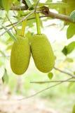 Jackfruit, owoc sławna Thailand Fotografia Royalty Free