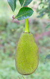 jackfruit på ett träd Arkivbild