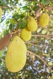 Jackfruit på trädet Fotografering för Bildbyråer