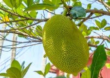Jackfruit på tree arkivbild