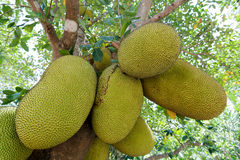 Jackfruit på tree Royaltyfria Bilder
