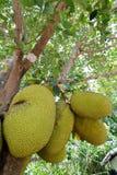 Jackfruit på tree Arkivbilder