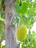 Jackfruit på tree Arkivfoto