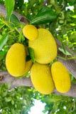Jackfruit på treen Arkivbild